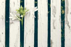 Garden Lily Over White Wooden Fence Background - stock photo