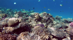Many fish swim among corals in the Red Sea - Egypt Stock Footage