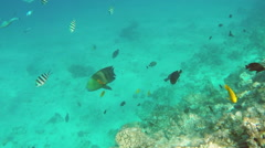 Broomtail Wrasse fish swim on coral reef in the Red Sea Stock Footage
