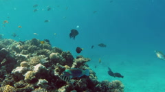 Daisy parrotfish (Chlorurus sordidus) in the Red Sea, Egypt Stock Footage