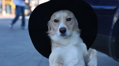 Dog Posing with Hat - stock footage