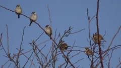 ULTRA HD 4K Sparrow flock rest perched tree branch bush fly closeup family noisy Stock Footage