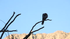 Rock Dove/Pigeon on branch in the desert Stock Footage