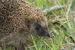 close up of northern white breasted hedgehog ( Erinaceus roumanicus ) - stock photo