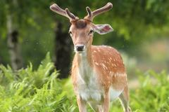 Fallow deer buck in the forest, harassed by fleas Stock Photos