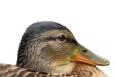 Isolated portrait of a female mallard duck ( Anas platyrhynchos ) Stock Photos