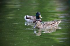 Mallard duck couple ( Anas platyrhynchos ) swimming on pond Stock Photos