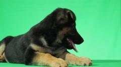 German Shepherd puppy on a green screen Stock Footage