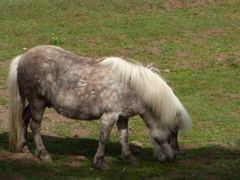 Grazing light brown pony video, 640x480 Stock Footage