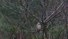 Jay Perched On Branch And Looking Around 2 Stock Footage