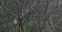 Jay Perched On Branch And Looking Around 4k 1 Stock Footage