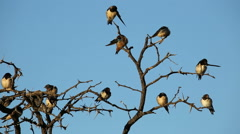Barn swallows on a dead tree Stock Footage