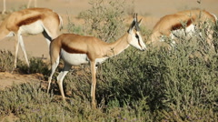A springbok antelope (Antidorcas marsupialis) browsing on a shrub, Kalahari  Stock Footage