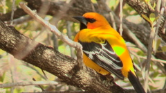 Trupial Kacho/Yellow Oriole/Gele Trupial/Bonafowru in a tree Stock Footage