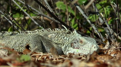 Iguana-Leguaan jumps away - stock footage