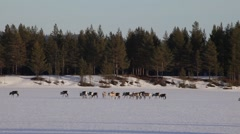 Group of reindeer slowly crossing a frozen lake Stock Footage