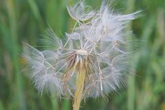 Western salsify (Tragopogon dubius Scop., Asteraceae) wishie - stock photo