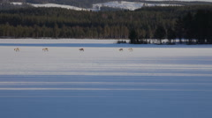 Group of reindeer crossing a frozen lake Stock Footage
