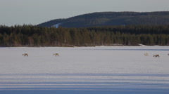 Group of reindeer crossing a frozen lake on a sunny day Stock Footage