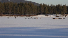 Group of reindeer crossing a frozen lake on a sunny winter day Stock Footage