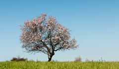 Almond tree with white blosoms Stock Photos