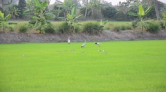 Ciconiiformes and Swallows Bird on Paddy or Rice field at Nonthaburi, Thailand Stock Footage
