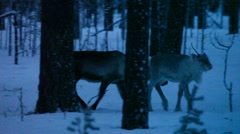Reindeer moving through wintry forest searching for food Stock Footage