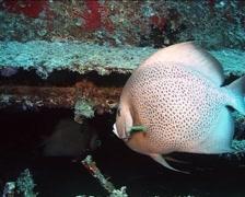 Cuba Atlantic Ocean Russian Fregate Angelfish, 0251 Stock Footage