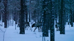 Reindeer searching food in a snowy forest Stock Footage