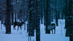 Group of reindeer browsing in a wintry forest Stock Footage