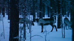 Reindeer are nibbling on the twigs of fir saplings in a wintry forest Stock Footage