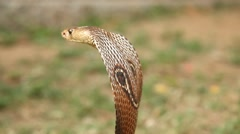 Snake cobra close up Stock Footage