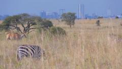 Zebras in front of Nairobi Stock Footage