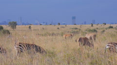 Wild animals in front of Nairobi Stock Footage