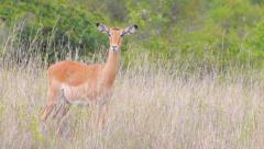 Impala in African safari Stock Footage