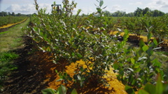 Tractor driving through blueberry field. Shot on RED EPIC for high quality 4K, - stock footage