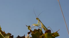 Stock Video Footage of Mantis religiosa, mantide religiosa, insetti, mantoidei, male,