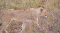 Big lioness looking for a prey in Africa Stock Footage