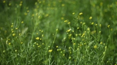 Yellow Wildflowers Swaying in a Summer Breeze Stock Footage