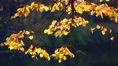 Tree branch with bright yellow autumn foliage Stock Footage