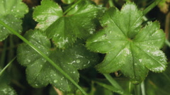 Plant Leaves Covered in Mist in Iceland Stock Footage