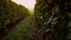 Vineyard at sunrise. Shot on RED EPIC for high quality 4K, UHD, Ultra HD Stock Footage