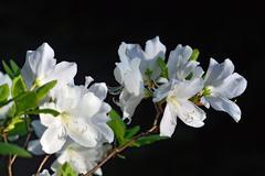 Rhododendron schlippenbachii (Royal Azalea) Stock Photos
