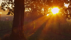 Sun shines through oak tree in vineyard at sunrise, Oregon. Shot on RED EPIC for - stock footage