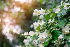 Jasmine spring flowers with raindrops Stock Photos