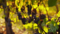 Pinot Noir grapes in vineyard at sunrise, Oregon. Shot on RED EPIC for high Stock Footage