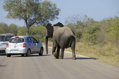 Elephant chasing a car - stock photo
