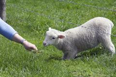 Lamb grazing - stock photo