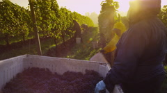 Oregon, USA - October 4, 2013: Harvesting wine grapes in vineyard. Shot on RED - stock footage