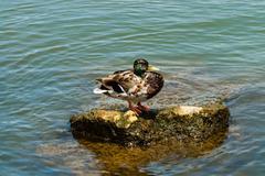 Mottled mallard duck on rock in water - stock photo